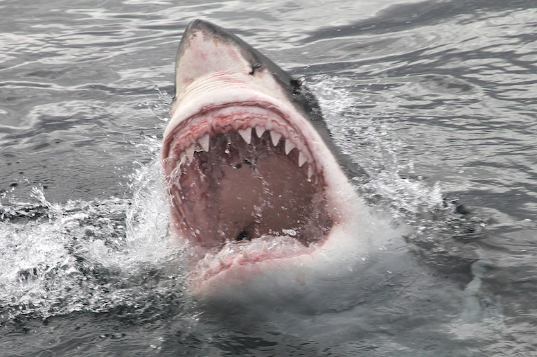 Great White Sharks rows of teeth